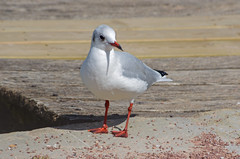 Annecy (Haute-Savoie). (sybarite48) Tags: france bird annecy pssaro oiseau vogel mouette pjaro uccello  ku ptak hautesavoie