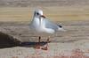 Annecy (Haute-Savoie). (sybarite48) Tags: france bird annecy pássaro oiseau vogel mouette pájaro uccello 鳥 kuş ptak hautesavoie птица πουλί طائر 禽流