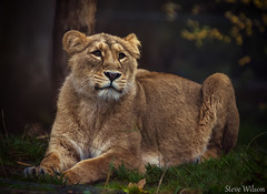 Female Indian Lion