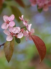 Alors, s'en venait l'été ... ** (Titole) Tags: pink tree leaves spring bokeh branches bloomingtree explored unanimouswinner friendlychallenges thechallengefactory titole nicolefaton