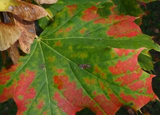 Herbstblatt, erst grün dann rot