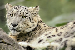 Snow Leopard (catherinexprior) Tags: cats snow nature zoo big leopard marwell marwellwildlife