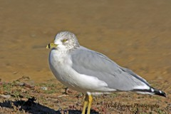 Ring-billed Gull (Walt Barnes) Tags: bird nature canon eos scenery wildlife richmond calif ringbilledgull 60d millerknox canoneos60d eos60d ebparksok wdbones99
