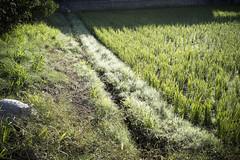 (mokuu) Tags: footpath ricepaddy