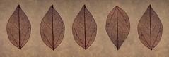 Skeletons. (Yvette-) Tags: leaves wabisabi skeletons nikkorf28105mm nikond5100