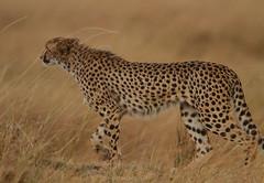 The hunt that never was! (Rainbirder) Tags: kenya cheetah maasaimara acinonyxjubatus rainbirder