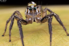 IMG_2761 (AlkhashabNawaf) Tags: light macro beautiful photography spider jumping eyes spiders flash great insects kuwait speedlight diffuser