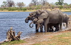 elephants into the Mudumo NP (Caprivi, Namibia) (Anne.Berger) Tags: elephants botswana elefanten mudumonp