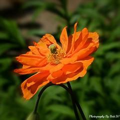 Splendid In Orange (Bob.W) Tags: californianpoppy mygearandme