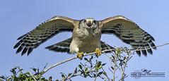 Red Shouldered Hawk_7965 (mikeyasp) Tags: birds everglades redshoulderedhawk hawks
