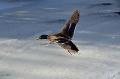 Quack Down! (SDewittPhoto) Tags: winter snow bird nature fly flying duck nikon scenery outdoor feather mallard avian d7000