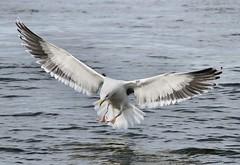 Great Black-Backed Gull (Eric C. Reuter) Tags: nature birds wildlife jetty birding january nj inlet 2014 barnegatlight 011314