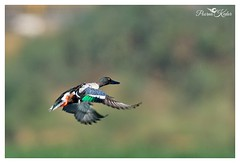 Can ducks fly? (Poorna Kedar) Tags: wild india bird nature water duck wings nikon action bokeh wildlife bangalore flight off freeze take karnataka northern shoveler d800e