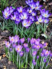 17th Feb 2014 Its that time of year again (saxonfenken) Tags: flowers portrait spring crocus superhero 2014 twocolours gamewinner 8113 storybookwinner pregamewinner pregameawarded 8113flowers