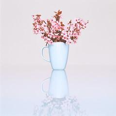 (Nasos Zovoilis) Tags: pink white flower color colour 120 6x6 film table kodak pastel hasselblad greece medium format 100 ektar