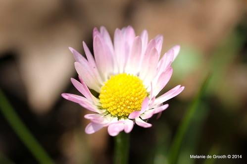 Pale Pink Daisy