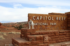 Jack Russell Terrier in front of Capitol Reef sign (uschi1306) Tags: travel usa dog dogs nature sign utah nationalpark ut unitedstates roadtrip terrier jackrussell capitolreef jackrussellterrier stateforest parsonrussellterrier