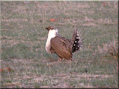 Sage Grouse 9 (RootsRunDeep) Tags: bird nature wildlife feathers grouse sage mating greater wyoming behavior lek strutting