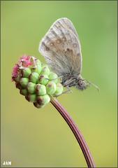Catapultada (- JAM -) Tags: naturaleza flower macro nature insect nikon flor explore jam mariposas d800 insecto macrofotografia explored lepidopteros juanadradas