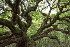Angel Oak (andreathayne) Tags: tree nature canon garden southcarolina charleston plantation angeloak andreakaminski andreakaminskiphotography
