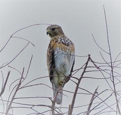 Anglų lietuvių žodynas. Žodis red-shouldered hawk reiškia raudona-tenkinti vanagas lietuviškai.