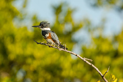 The wet look {Explored} (ChicagoBob46) Tags: beltedkingfisher kingfisher bird bunchebeach florida nature wildlife explored explore ngc npc