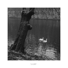 Swans (fsanty) Tags: lake swans tree snow water winter cold snowflakes monochrome blackwhite square 1x1 vsco darkroom lightroom brussels boisdelacambre walk nature fujifilm xt1 35mm 35mmf2