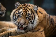 Debbie @ 13 Months (ToddLahman) Tags: debbie teddy joanne sandiegozoosafaripark safaripark canon7dmkii canon canon100400 portrait mammal outdoors tigers tiger tigertrail tigercub exhibitb closeup eyelock