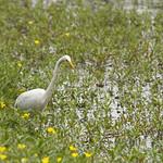 Garza Grande (Ardea alba egretta) Great white egret thumbnail