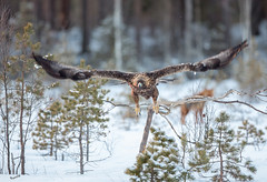 Pay attention, your prey is behind you!!! (MatsOnni) Tags: maakotka kettu aquilachrysaetos vulpesvulpes goldeneagle redfox prey saalis