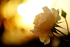la vie en rose (Andreas.W.) Tags: helios vintage lense lens rose sonnenuntergang sonne sunset abendstimmung 442 58mm f2 manual focus flower eveningsun eveninglight summer fèeling vintagelens eveningmood feeling