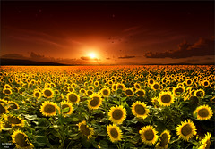 Sun Oil (Jean-Michel Priaux) Tags: flowers light sunset sun nature photoshop landscape sunflowers sunflower oil paysage tournesol priaux mygearandme