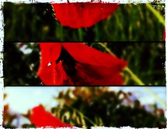 Poppy (6luciole) Tags: flower fleur field poppy champ coquelicot uploaded:by=flickrmobile flickriosapp:filter=toucan toucanfilter