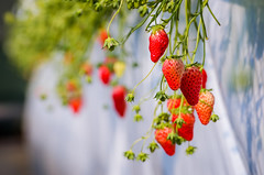 Dangling Strawberries (lestaylorphoto) Tags: camera travel food japan 35mm photography tokyo nikon farm strawberries   gaijin   picking activities        d7000
