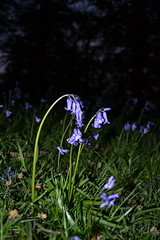 Sad Bells (isobel-daisy) Tags: blue plant flower green nature grass night dark photography sad purple bell flash belle