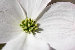 White Dogwood Flower (Eric Kilby) Tags: flowers white boston closeup arnold arboretum dogwood