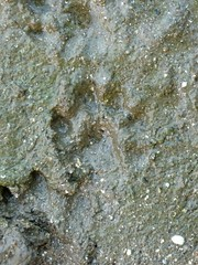 Otter Footprint (DarrenU) Tags: longmelford suffolk track otter footprint lutralutra