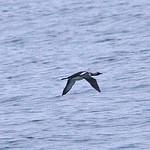 008003-IMG_5328 Pacific Diver (Gavia pacifica) thumbnail
