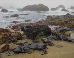Moist and Salty (walking along) Tags: california seaweed sonoma anemone lowtide g11 littoral sonomacoaststatepark