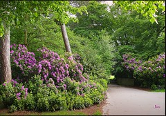 On a day like this (Jan 130) Tags: uk birmingham suttoncoldfield goinghome westmidlands suttonpark rhododendrons wayhome scotspines wyndleygate walkwithzak nearwyndleypool