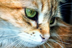 Eyes of green (LETHO 2706) Tags: cat katze bella