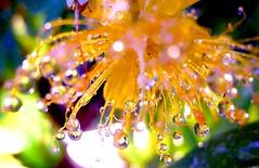 St John's Wort (love_child_kyoto) Tags: summer flower gardening yellowflower rainy raindrops   photomania  stjohnswort  masterphotos   artisticflowers takenwithlove hypericummonogynum   mindigtopponalwaysontop   thegoldenachievement  dreamlikephotos takenwithhardwork lovelynewflickr lostintheflickr notavialable