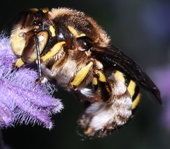 solitary bee cf Anthidium manicatum  Apidae megachilinae (BSCG (Badenoch and Strathspey Conservation Group)) Tags: h bu