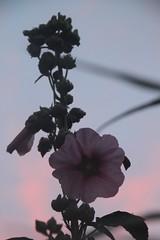 Rose trmire du soir (Jeanne Menj) Tags: rose bretagne soir trmire rosetrmire