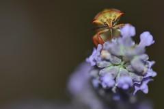 Parfum de Lavande et Punaise (rj@ubertsb) Tags: macro nature fleur nikon lavande insecte 105mm punaise rjubertsb
