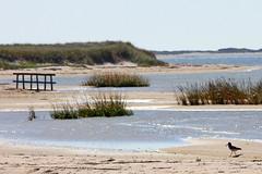 Oystercatcher (cheryl.rose83) Tags: ocean birds capecod massachusetts oystercatchers