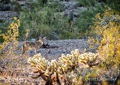 365 Project Year 3 - 264.jpg (tharn photography) Tags: coyote arizona bird phoenix photography desert hiking wildlife places wildanimal loggerheadshrike ahwatukee southmountain teddybearcholla 70200l desertclassic 365project canon6d tharnphotography