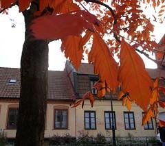 Autumn Red (brandsvig) Tags: autumn red tree leaves skne october sweden gr sverige grdigital malm ricoh hst trd rd lv grii 2013 fricksgatan