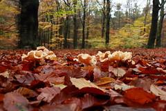 11- november 2013, Hoog Buurlo (RW-V) Tags: autumn mushrooms herbst herfst pilze apeldoorn paddestoelen champignons canonefs1755mmf28isusm hoogbuurlo canoneos60d lautumne