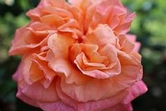 Je regarde une rose et... () Tags: paris france rose